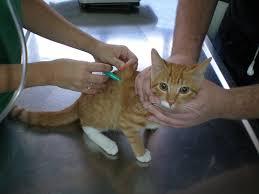 Vacunación para canes y felinos